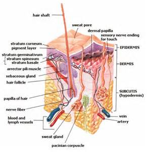 Sweat Gland for blog